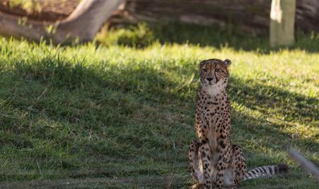 jubatus: The Cheetah, Acinonyx jubatus, is the fasted mammal on land