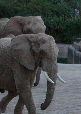Elephant, Loxodonta Africana, behavior indicates a keen intelligence and awareness among these animals. Banco de Imagens - 47750029