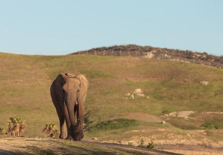 Elephant, Loxodonta Africana, behavior indicates a keen intelligence and awareness among these animals. Banco de Imagens - 47750052