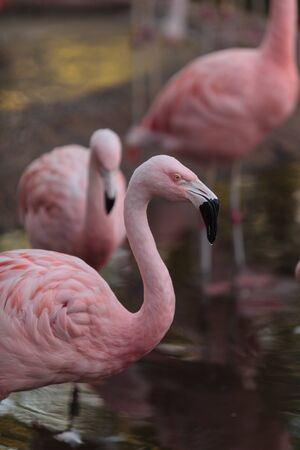 phoenicopterus: The Chilean flamingo, Phoenicopterus chilensis, is a bright pink Stock Photo