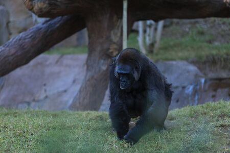 gorillas: Gorillas can be found in tropical forests and are known for their strength.