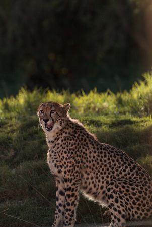 acinonyx jubatus: The Cheetah, Acinonyx jubatus, is the fasted mammal on land and can be found on the Serengeti of Africa Stock Photo