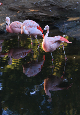 chilean: The Chilean flamingo, Phoenicopterus chilensis, is a bright pink Stock Photo