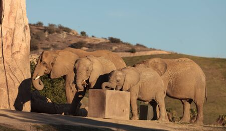 keen: Elephant, Loxodonta Africana, behavior indicates a keen intelligence and awareness among these animals.