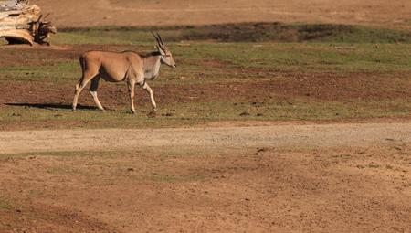 grants: Grants gazelle, Nanger granti, is found in South Africa