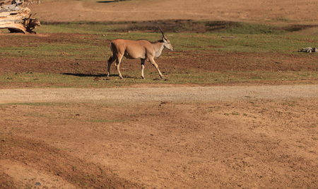 safari game drive: Grants gazelle, Nanger granti, is found in South Africa