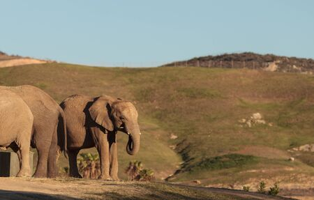 Elephant, Loxodonta Africana, behavior indicates a keen intelligence and awareness among these animals. Banco de Imagens - 47751068