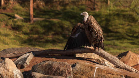 gyps: African White-Backed Vulture, Gyps africanus, is found over the savannah of Africa