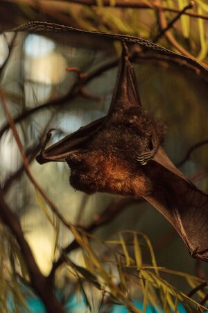 fruit bat: Rodrigues fruit bat, Pteropus rodricensis, is nocturnal and shy