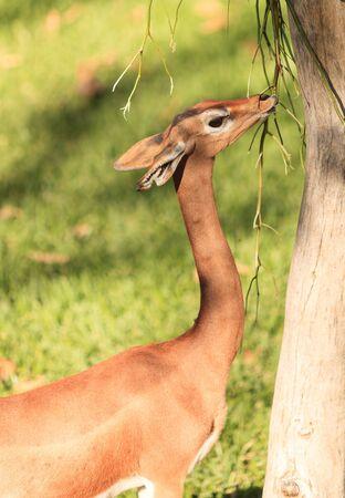 gazelle: Grants gazelle, Nanger granti, is found in South Africa