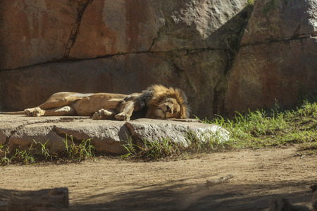 panthera leo: The lion, Panthera leo, is majestic to watch, even when only napping