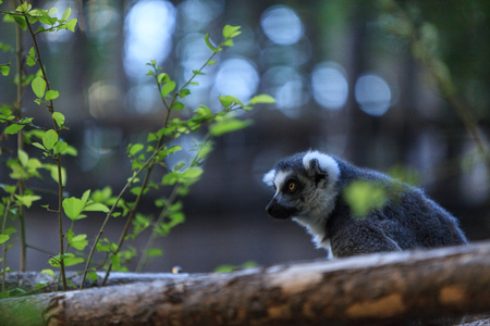 The Lemur, Lemuroidea, is endemic to in Madagascar Imagens