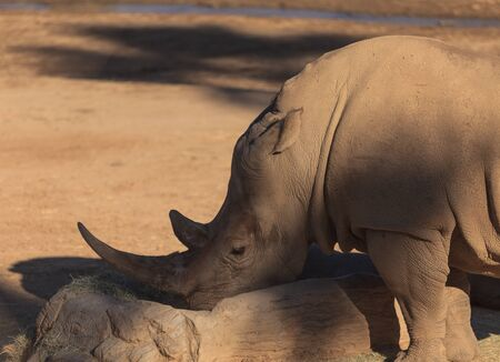 grazer: White African rhinoceros, Ceratotherium simum, is found in Africa and is now endangered Stock Photo
