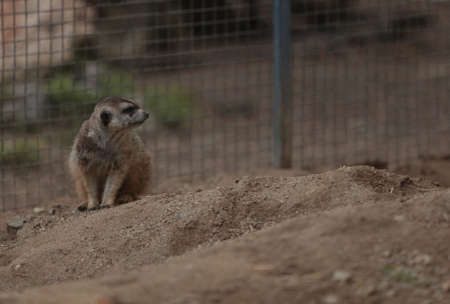 suricata: Meerkats, Suricata suricatta, are secretive and cautious Stock Photo