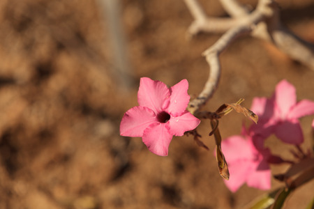 obesum: Pink flowers on Adenium obesum swazicum blooms from November through may in Swaziland. Stock Photo