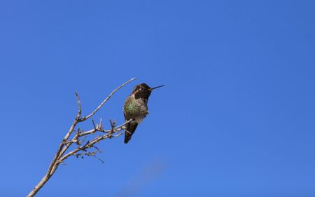 southern california: Male Annas Hummingbird, Calypte anna, is a green and red bird sitting in a tree at the San Joaquin wildlife sanctuary, Southern California, United States.
