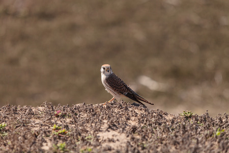 smallest: Female American kestrel bird, Falco sparverius, is North Americas smallest falcon. This bird of prey is a red brown color.
