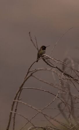 canyonland: Black chinned hummingbird, Archilochus alexandri, perches on a bush in a marsh in Huntington Beach, California, United States