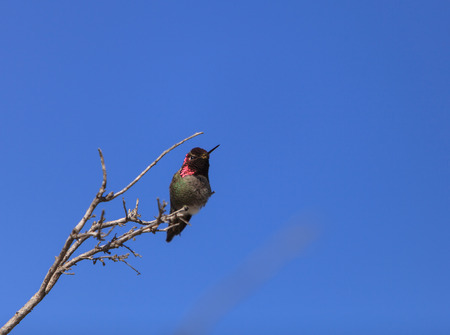 san joaquin: Male Annas Hummingbird, Calypte anna, is a green and red bird sitting in a tree at the San Joaquin wildlife sanctuary, Southern California, United States.
