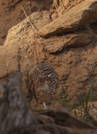 curve claw: Burrowing Owl, Athene cunicularia, is found in North and South America. They make their home in the ground and are often found in agricultural areas. Stock Photo