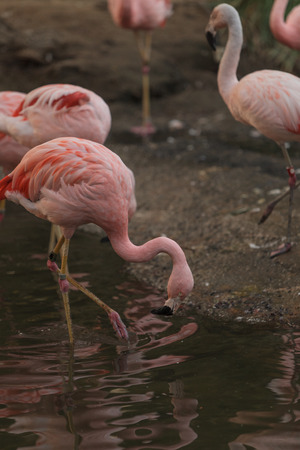 freshwater bird: The Chilean flamingo, Phoenicopterus chilensis, is bright pink freshwater bird found in streams and lakes.