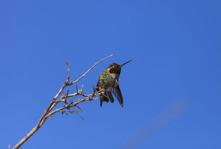 joaquin: Male Annas Hummingbird, Calypte anna, is a green and red bird sitting in a tree at the San Joaquin wildlife sanctuary, Southern California, United States.