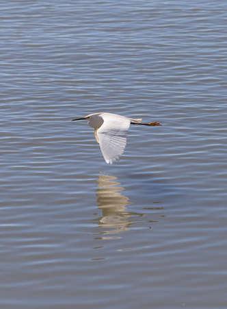 southern california: Snowy Egret, Egretta thula, bird flies over a marsh in Huntington Beach, Southern California, United States Stock Photo