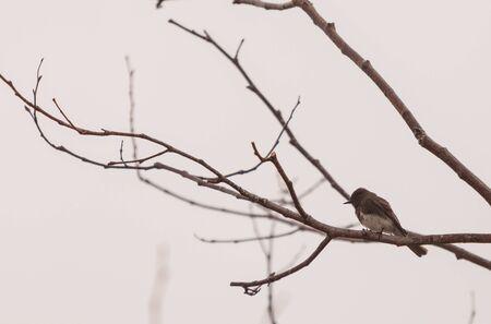 san joaquin: Grey Tree swallow birds, Tachycineta bicolor, sits on a tree in San Joaquin wildlife sanctuary, Southern California, United States
