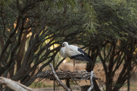 subcontinent: European White stork, Ciconia ciconia, is a bird found in Africa and the Indian subcontinent.