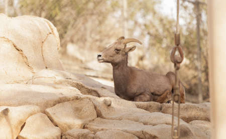 ovis: Desert Bighorn sheep, Ovis canadensis, in the desert in California, United States and in parts of Mexico in the mountains.
