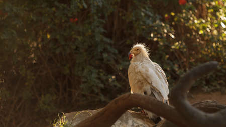 cruel zoo: Egyptian vulture, Neophron percnopterus, is also known as the pharaohs chicken and the white scavenger vulture. This bird is a carnivore found in dry climates.