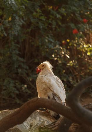 ニシオオノスリ猛禽の檻、エジプトハゲワシは、ファラオ チキンと白スカベン ジャー ハゲタカとして知られているです。この鳥は、乾燥した気候 写真素材