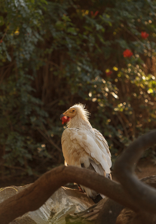 Egyptian vulture, Neophron percnopterus, is also known as the pharaohs chicken and the white scavenger vulture. This bird is a carnivore found in dry climates.