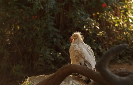 carnivore: Egyptian vulture, Neophron percnopterus, is also known as the pharaohs chicken and the white scavenger vulture. This bird is a carnivore found in dry climates.