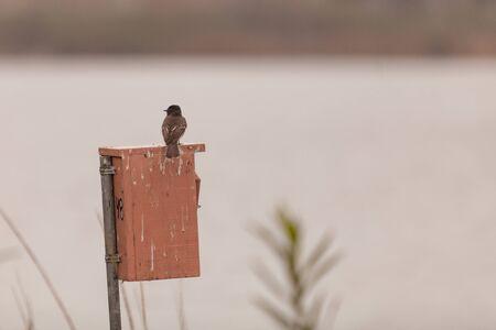 joaquin: Grey Tree swallow birds, Tachycineta bicolor, sits on a nest box at the San Joaquin wildlife sanctuary, Southern California, United States