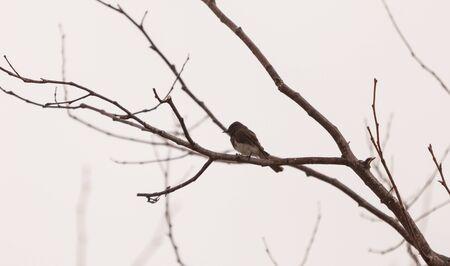 san joaquin: Grey Tree swallow birds, Tachycineta bicolor, sits on a tree branch at the San Joaquin wildlife sanctuary, Southern California, United States Stock Photo