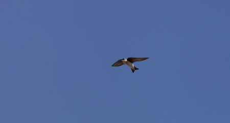 swallow bird: Blue Tree swallow bird, Tachycineta bicolor, flies over the San Joaquin wildlife sanctuary, Southern California, United States Stock Photo
