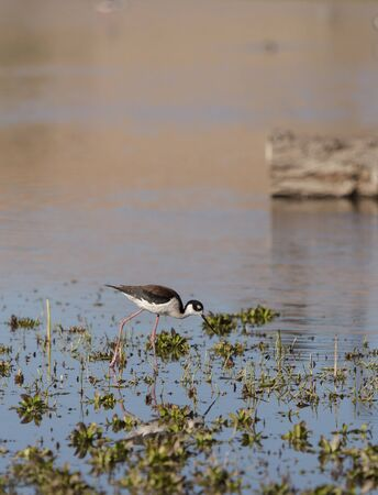 himantopus: Black-necked stilt, Himantopus mexicanus, shore bird in spring, fishing in a marsh pond in Irvine, California, United States.
