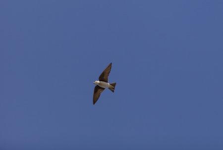 joaquin: Blue Tree swallow bird, Tachycineta bicolor, flies over the San Joaquin wildlife sanctuary, Southern California, United States Stock Photo