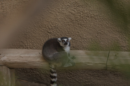 Lemur, Lemuroidea, is endemic to in Madagascar and can be found climbing in trees. Imagens