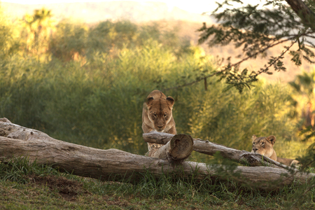 dreadful: The lioness, Panthera leo, is majestic to watch, even when only napping on the African Serengeti Stock Photo