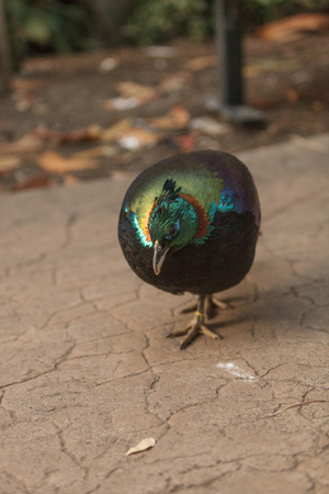 philatelic: Himalayan Monal, Lophophorus impeyanus, is a colorful bird found in the Himalayas. Stock Photo