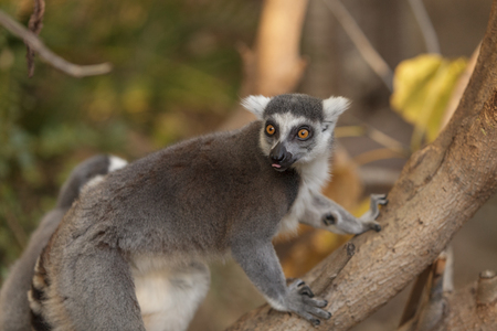 Lemur, Lemuroidea, is endemic to in Madagascar and can be found climbing in trees. Фото со стока