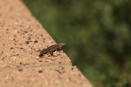 lagartija: Brown common fence lizard, Sceloporus occidentalis, perches on a ledge with a green background.