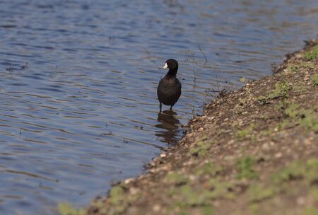 bird sanctuary: American Coot Duck, Fulica americana, at the side of a pond in summer in an Irvine, California, United States bird sanctuary