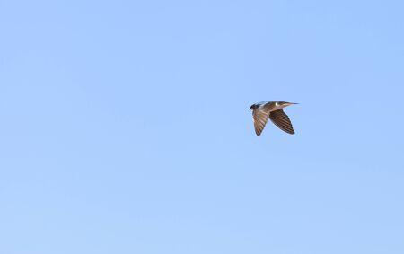san joaquin: Blue Tree swallow bird, Tachycineta bicolor, flies over the San Joaquin wildlife sanctuary, Southern California, United States Stock Photo