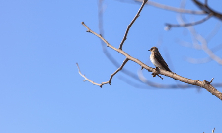 joaquin: Blue Tree swallow bird, Tachycineta bicolor, sits on a branch at the San Joaquin wildlife sanctuary, Southern California, United States Stock Photo