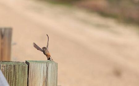 san joaquin: Grey female tree swallow birds, Tachycineta bicolor, perches on a post at the San Joaquin wildlife sanctuary, Southern California, United States