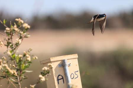 san joaquin: Tree swallow birds, Tachycineta bicolor, flies over a the nest box at the San Joaquin wildlife sanctuary, Southern California, United States