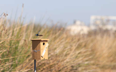 joaquin: Tree swallow birds, Tachycineta bicolor, flies over a the nest box at the San Joaquin wildlife sanctuary, Southern California, United States